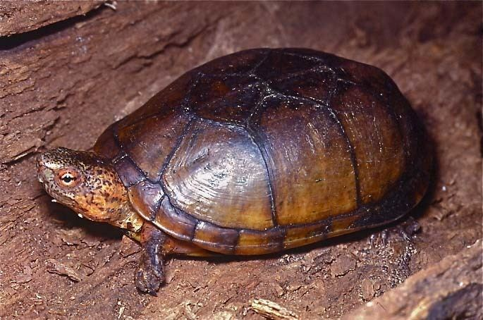 Tabasco mud turtle Tortoise and Freshwater Turtle Specialist Group