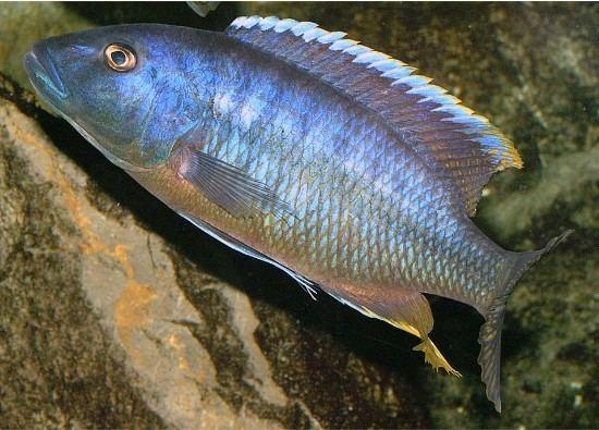 Taeniochromis holotaenia Taeniochromis holotaenia