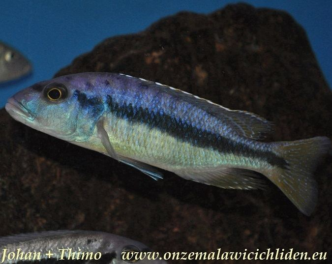 Taeniochromis holotaenia Onze Malawicichliden