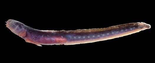 Taenioides Purple Eelgoby Taenioides purpurascens Australian Museum
