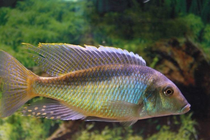 Taeniolethrinops furcicauda Taeniolethrinops Furcicauda Passione Acquari