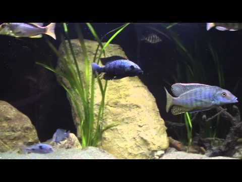Taeniolethrinops furcicauda Malawi cichlid Taeniolethrinops Furcicauda vs Fossorochromis