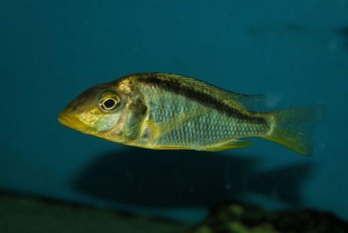 Taeniolethrinops furcicauda Taeniolethrinops furcicauda Ntekete Haplos Aulonocara et associs
