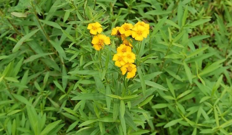 tagetes lucida effects
