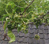 Taphrinomycotina httpsuploadwikimediaorgwikipediacommonsthu