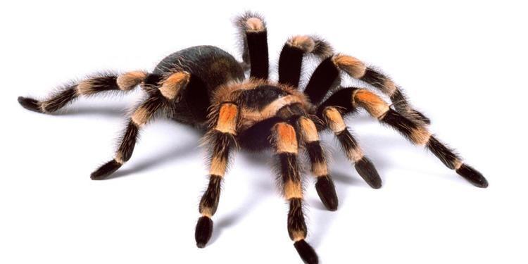 Tarantula BBC Earth The truth about tarantulas not too big not too scary