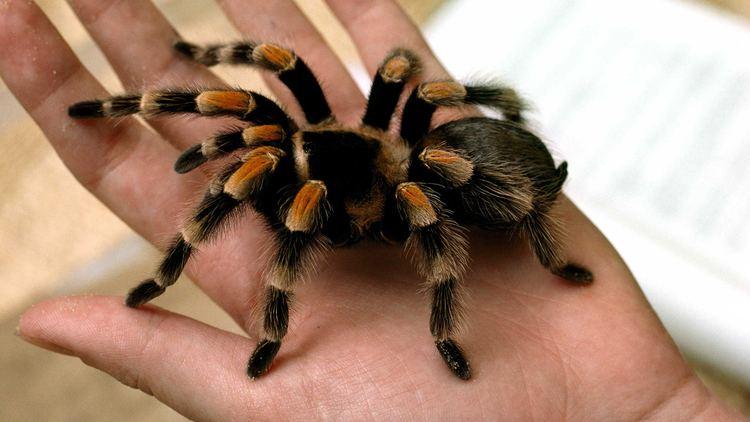 Tarantula tarantulacloseuphandjpg