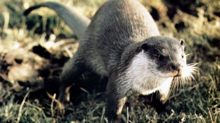Tarka the Otter (film) Film Tarka The Otter Into Film