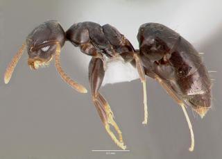 Technomyrmex Technomyrmex albipes Whitefooted ant Discover Life