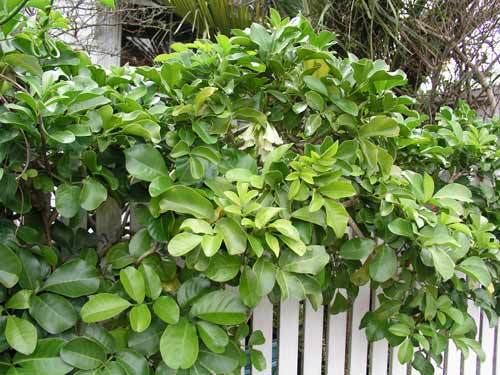 Tecomanthe Tecomanthe speciosa Horticultural use of native plants Te Ara