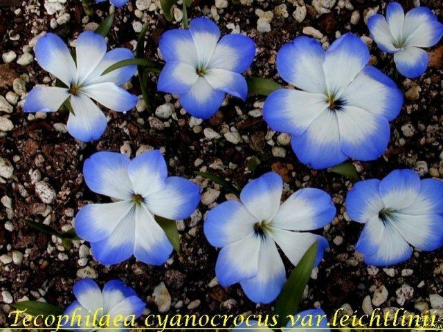 Tecophilaea Pacific Bulb Society Favorite Blue Flowered Bulbs Two