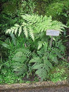 Tectaria cicutaria httpsuploadwikimediaorgwikipediacommonsthu