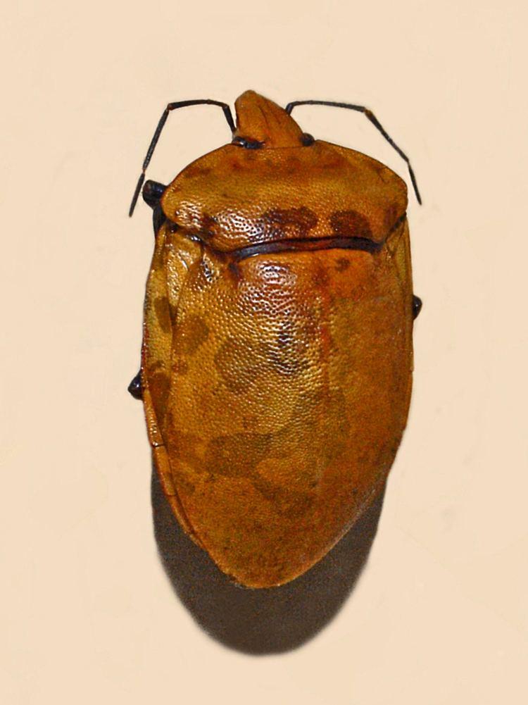 Tectocoris lineola