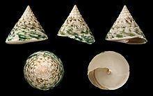 Tectus pyramis httpsuploadwikimediaorgwikipediacommonsthu