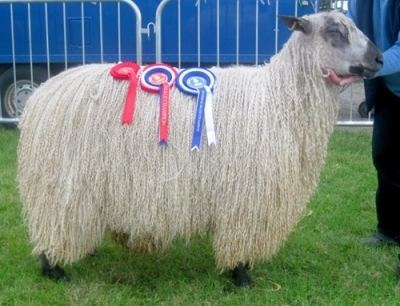 Teeswater sheep About the Teeswater Sheep Breed