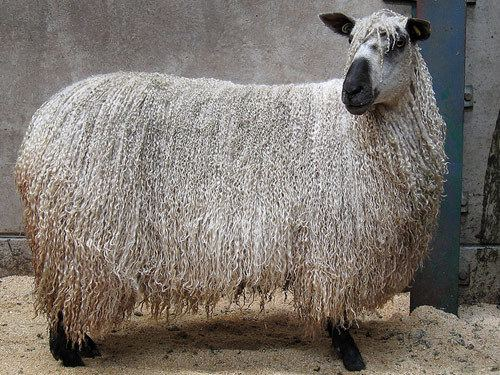 Teeswater sheep sheep