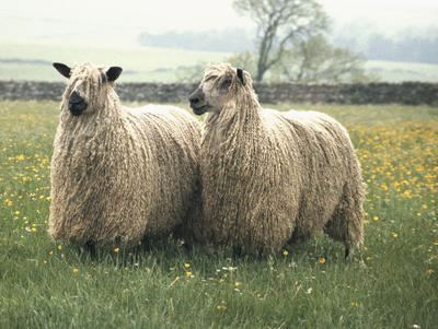 Teeswater sheep Teeswater RBST