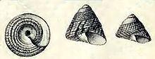 Tegula excavata httpsuploadwikimediaorgwikipediacommonsthu