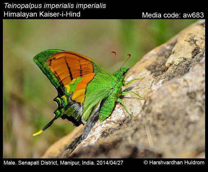 Teinopalpus imperialis Teinopalpus imperialis KaiseriHind Butterflies of India