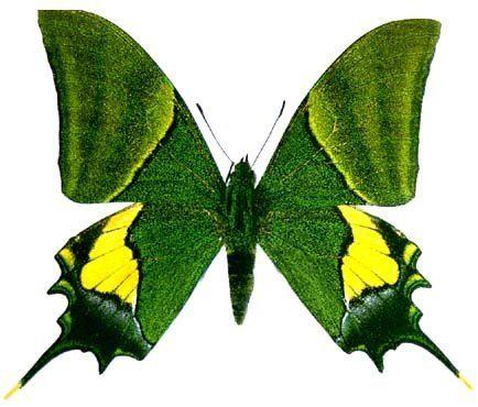 Teinopalpus imperialis Timperialis