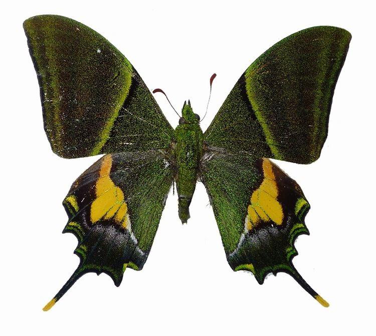 Teinopalpus imperialis Vietnam Insect Teinopalpus imperialis Kaiserihind swallowtails
