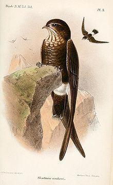 Telacanthura httpsuploadwikimediaorgwikipediacommonsthu