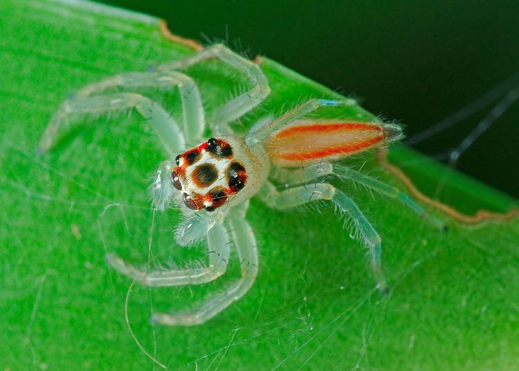 Telamonia Jumping Spiders Salticidae tchuanye