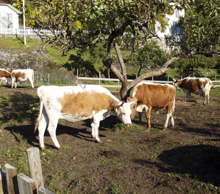Telemark cattle Bjrge farm Matfestivaler