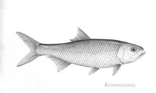 Teleost Teleost fish Flindersichthys denmeadi Australian Museum