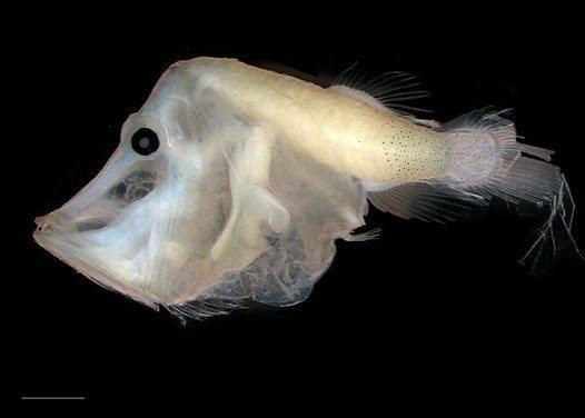 Telescopefish httpsaustralianmuseumnetauUploadsImages227