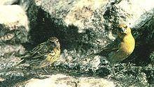 Telespiza httpsuploadwikimediaorgwikipediacommonsthu