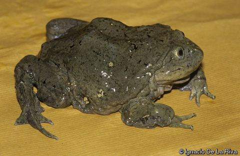 Telmatobius culeus Telmatobius culeus Titicaca Water Frog