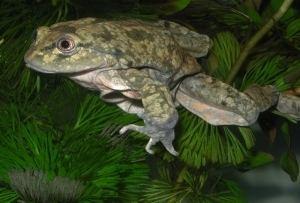 Telmatobius culeus Telmatobius culeus Amphibian Ark