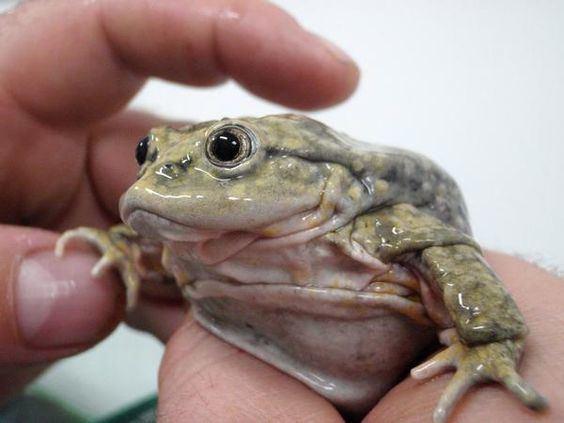 Telmatobius culeus Lake Titicaca Water Frog Telmatobius culeus Fancy Frogs amp Such