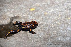 Telmatobufo venustus httpsuploadwikimediaorgwikipediacommonsthu