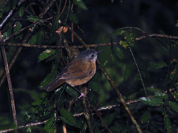 Temminck's babbler sabahbirdswildiariescomsystempictures000169