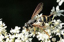 Temnostoma bombylans httpsuploadwikimediaorgwikipediacommonsthu
