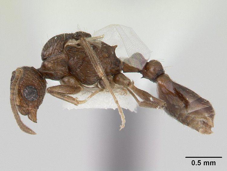 Temnothorax brunneus