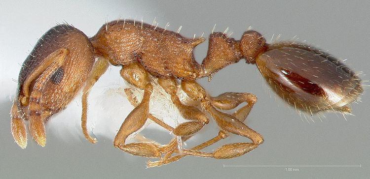 Temnothorax rugatulus Temnothorax rugatulus Wikipedia