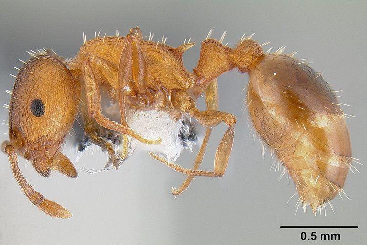 Temnothorax rugatulus FileTemnothorax rugatulus casent0106025 profile 1jpg Wikimedia