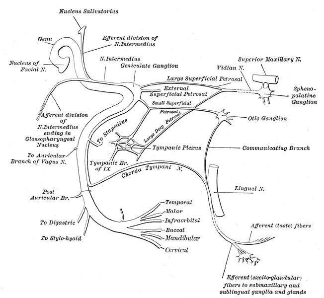 Temporal branches of the facial nerve