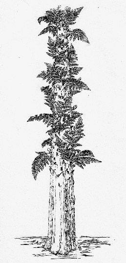 Tempskya The tree fern Tempskya