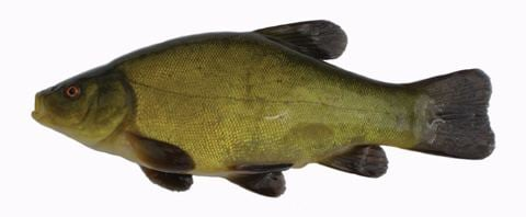 Tench Fishing in Ireland An angler39s guide to the best fishing in Ireland