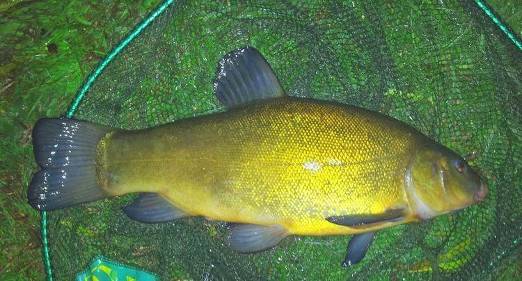 Tench Bream amp Tench Shropshire Anglers Federation Fishing Shrewsbury