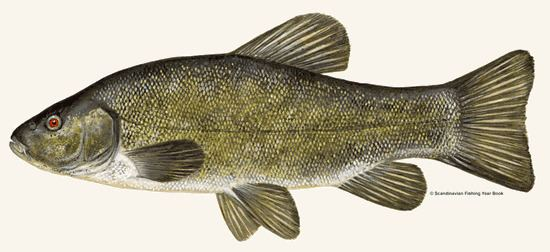 Tench Angling Society Species Tench