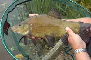 Tench How to catch tench Angler39s Mail