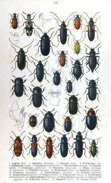 Tenebrionoidea httpsuploadwikimediaorgwikipediacommonsthu