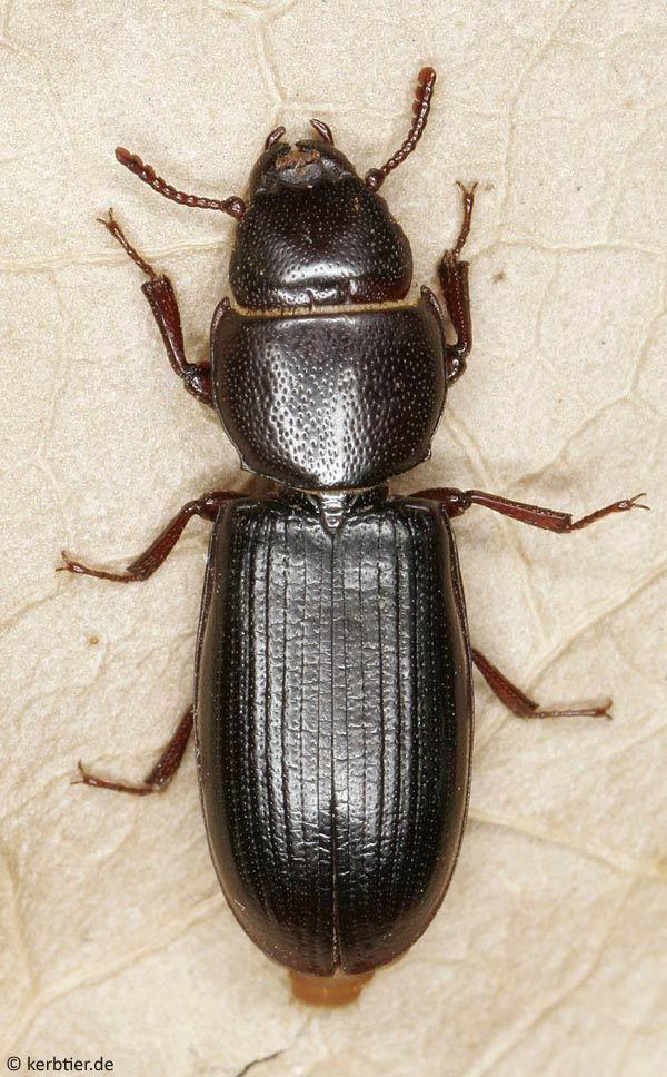 Tenebroides mauritanicus Compare beetle photos Tenebroides mauritanicus Tenebroides fuscus
