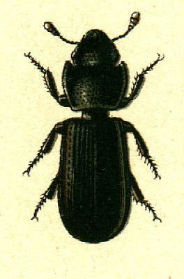 Tenebroides mauritanicus Tenebroides mauritanicus Wikipedia ting Vit