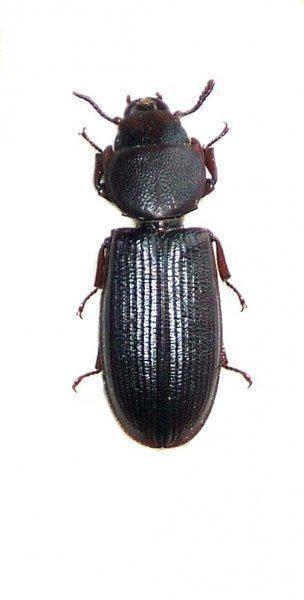 Tenebroides mauritanicus Image Tenebroides mauritanicus Cadelle BioLibcz